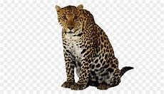 Macan Tutul Felidae Sepatu Cheetah Gambar Png