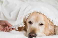 hund fieber messen fieber beim hund messen deine tiere
