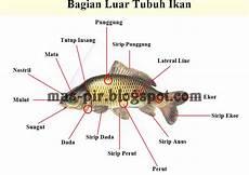 Bagian Luar Tubuh Ikan River