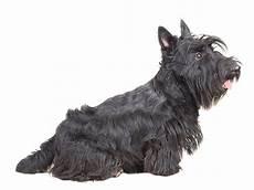 scottish terrier prix scottish terrier caract 233 ristiques 233 ducation sant 233 prix