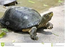 tortue eau douce aquarium tortue d eau douce image stock image du lent nature