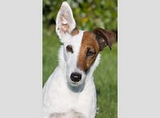 Fox Terrier Smooth · Free photo on Pixabay