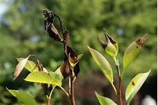 birnbaum schwarze blätter krankes obst