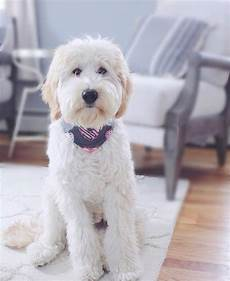 16 new goldendoodle haircut guide pictures meowlogy 16 new goldendoodle haircut guide pictures goldendoodle haircuts goldendoodle goldendoodle