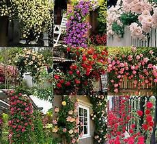 fiori a casa 450 seeds climbing shrub balcony hedge tree flowers