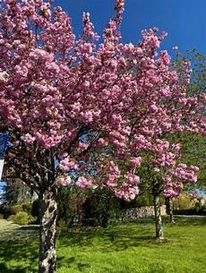 Cerisier Du Japon Plantation Taille Et Conseils D Entretien
