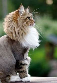 50 cats with lion haircuts haircuts lions and cat