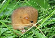 Kleine Haustiere Liste - kleine haselmaus ohne angst foto bild tiere haustiere