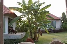 quot bananenbaum im garten quot lucerne villa resort khao yai