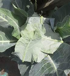 blumenkohl pflanzen abstand meine ernte blumenkohl anbauen pflegen ernten und lagern