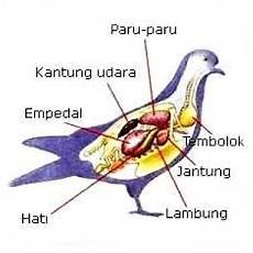 Sztahanov Mengenal Sistem Pencernaan Aves Dan Organ