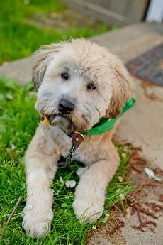 haircuts for wheaten terriers 1000 images about hypoallergenic dog breeds on pinterest puppys shih tzu mix and little dogs