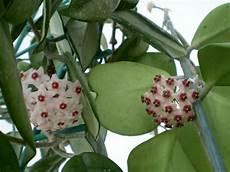 plante hoya kerrii hoya kerrii