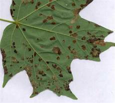 leaf spot diseases of shade trees and ornamentals