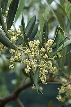 fiori di ulivo boccioli e fiori di ulivo