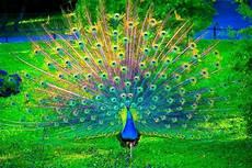 Gambar Burung Merak Yang Begitu Cantik Merak