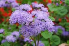 ambrosia blühend lila ageratum houstonianum