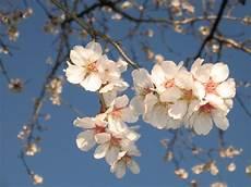 fiori mandorlo file fiori di mandorlo jpg