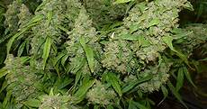 when and how to harvest marijuana plants