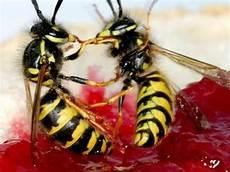 Wespen Vertreiben Hausmittel - wespen vertreiben mit hausmitteln
