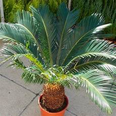 cycad cycas revoluta king sago palm tree