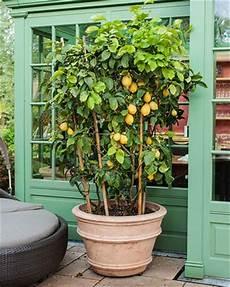 agrumes en pot citrus trees in pots