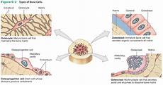 print chapter 6 osseous tissue and bone structure