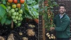 kartoffel tomaten pflanze how to graft a potato tomato plant together eco snippets