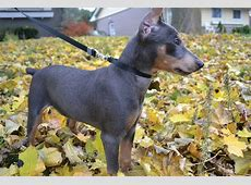 German Pinscher Info, Temperament, Puppies, Pictures