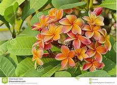 fiore frangipane fiore arancio frangipane fotografia stock immagine