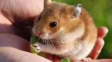 pflegeleichte haustiere zum kuscheln hamster z 228 hmen so erziehen sie ihr tier
