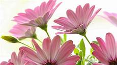 flower wallpaper for pc pink wallpapers wallpaper cave