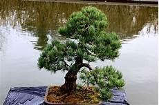 La Taille En Nuage Secret Des Jardins Zen Petit Paysagiste