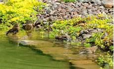 welche pflanzen klären den teich fragen zum teich reinigen klares wasser im teich
