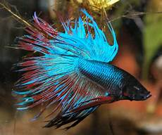 7 Gambar Jenis Dan Cara Ternak Ikan Cupang Kang Suhe S