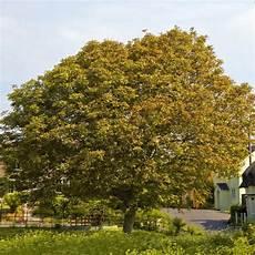 walnussbaum pflanzung pflege und tipps mein sch 246 ner garten