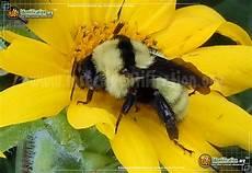 bienen niedrigere klassifizierungen golden northern bumble bee