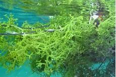 Ide Bisnis Olahan Rumput Laut Hasilkan Puluhan Juta