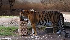 Foto Saat Hewan Di Kebun Binatang Guatemala Dapat Hadiah