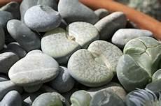 lebende steine arten lebende steine lithops sorten pflege und zucht