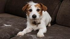 Hundehaare In Der Wohnung Wie Sie Zu Vermeiden Sind