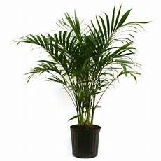 Pflanzen Zu Hause - delray plants cateracterum palm in 9 1 4 in pot 10cat