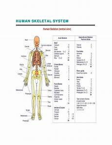 human skeletal system diagram labeled human skeletal system diagram coordstudenti