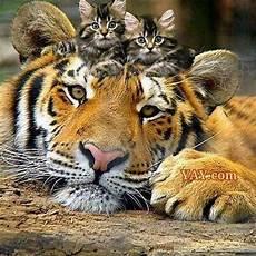 Gambar Harimau Comel