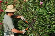 oleander pflege und schnitt oleander richtig schneiden vermehren 252 berwintern gie 223 en