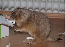 Kleine Haustiere Liste - kleiner nager gegen ein gro 223 es p 228 ckchen foto bild