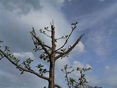 kirschbaum schneiden zeitpunkt beendete veredelung im mai ein boskoop erhielt drei