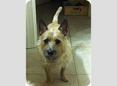 Reese   Adopted Dog   Boynton Beach, FL   Wheaten Terrier