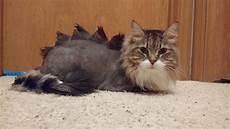 my cat chester s new dinosaur haircut aww
