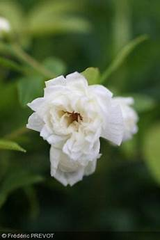 rosier liane sans epine rosa banksiae albo plena rosier liane blanc les